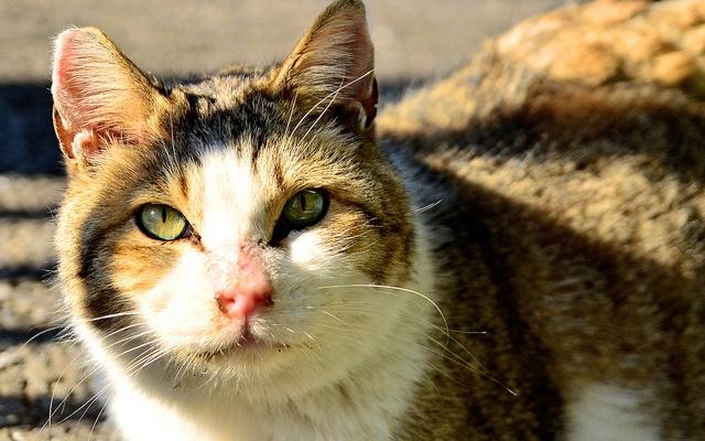 Toulavá kočka