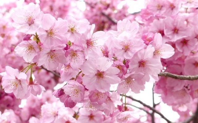 Neoficiálny japonský národný kvet - Sakura