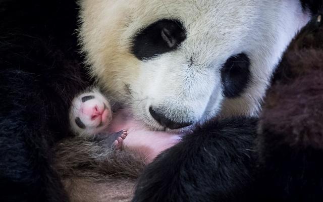 Samička pandy veľkej, Huan Huan a jej mláďatko v ZOO v strednom Francúzsku
