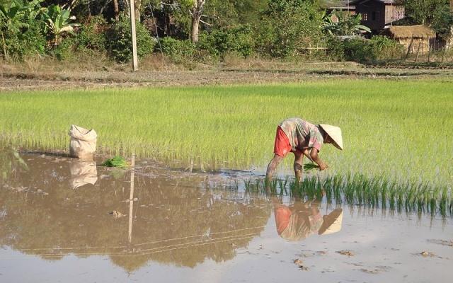 Sázení rýže