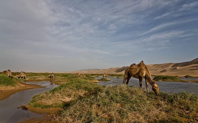 Písečné duny v Gobi Gurvan Saikhan a oáza pro velbloudy