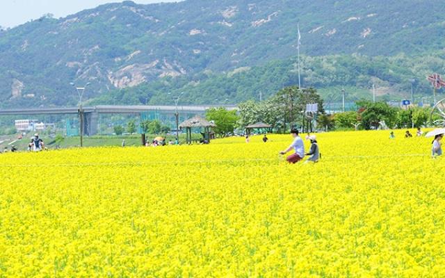 Řepka v okolí řeky Han