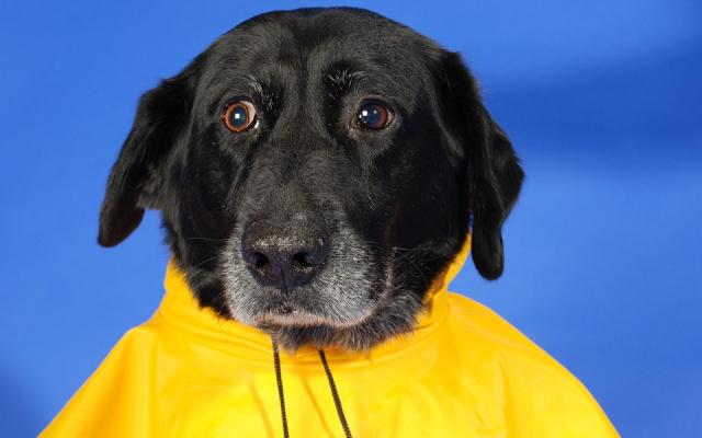 Pes v pláštěnce