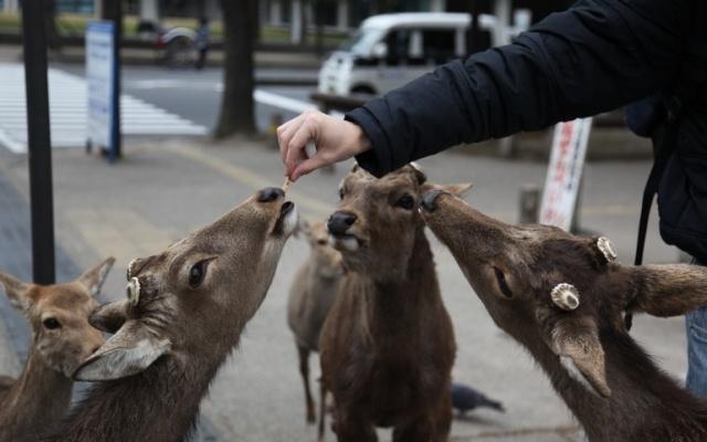 Kŕmenie jeleňov