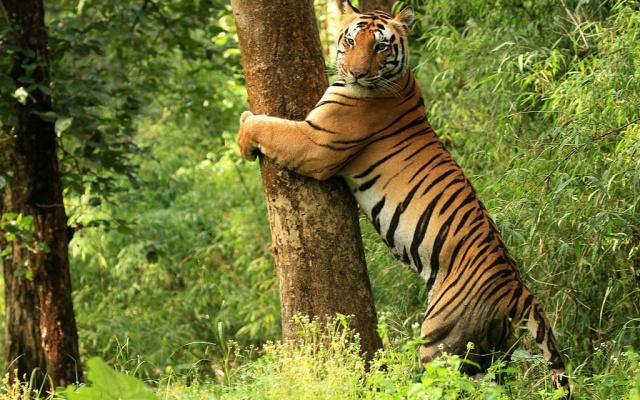 Tygr v Národním parku Kanha